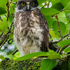 Juvenile Brown Hawk owl, Nagano