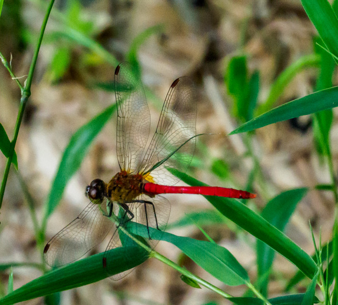 Sympetrum frequens dragon fly