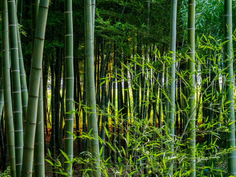 Bamboo forest in Chiba, Japan