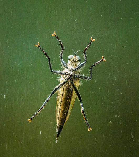 Shioya-Abu (A species of the robber fly)