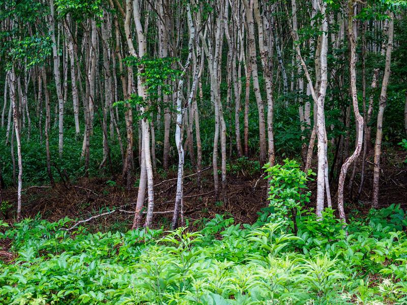 White birch forest in Yamanashi