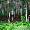 White birch forest in Yamanashi