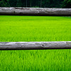 Rice field framed by wood rail fence