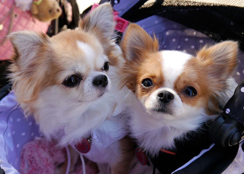 Japan OAT Trip, Nov 2014.  Kanazawa.  Gokayama mountain village.  A Japanese couple had their dogs in their baby stroller.