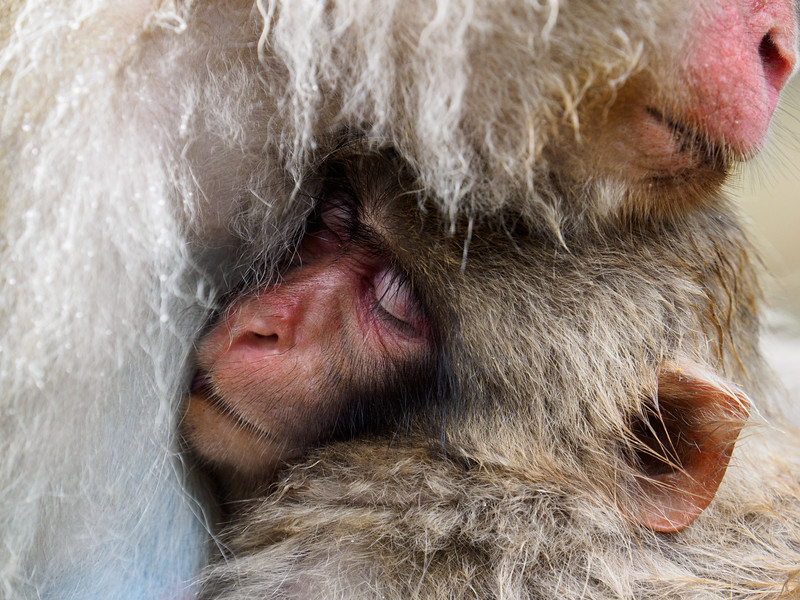 Maternal love in momma's warm, protective embrace.