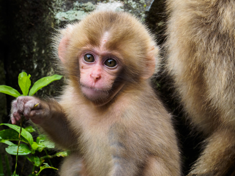 Snow monkeys are omnivores, eating both meat and vegetation.