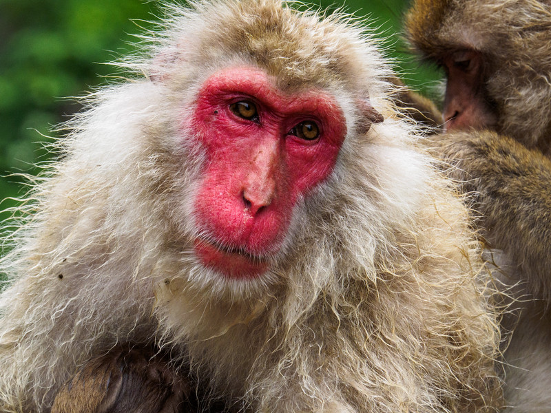 Macaques never smile.