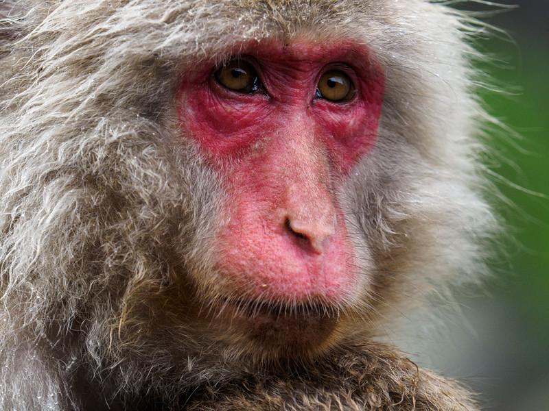 The macaques observe a hierarchical order.