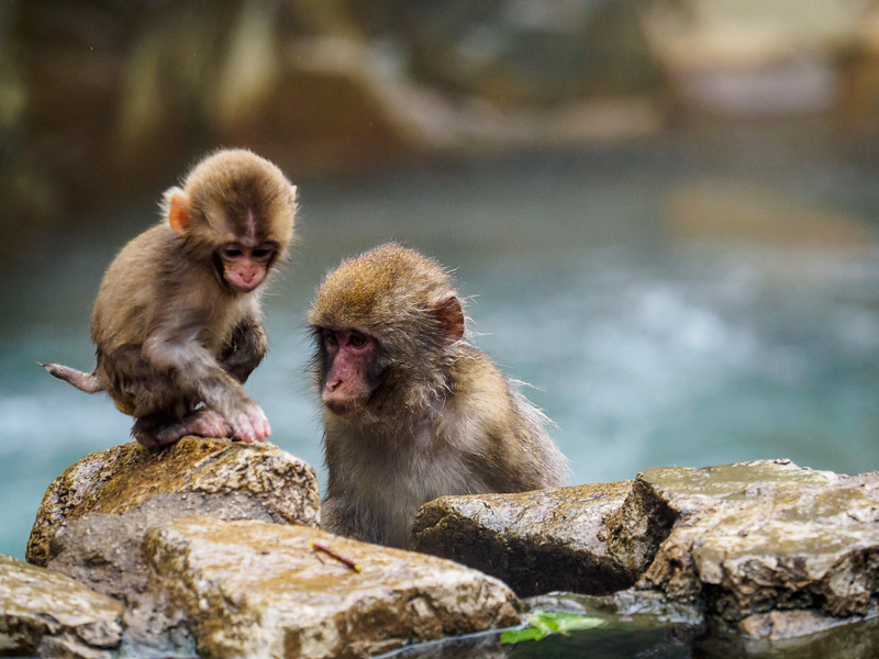 Baby snow monkey being mentored .