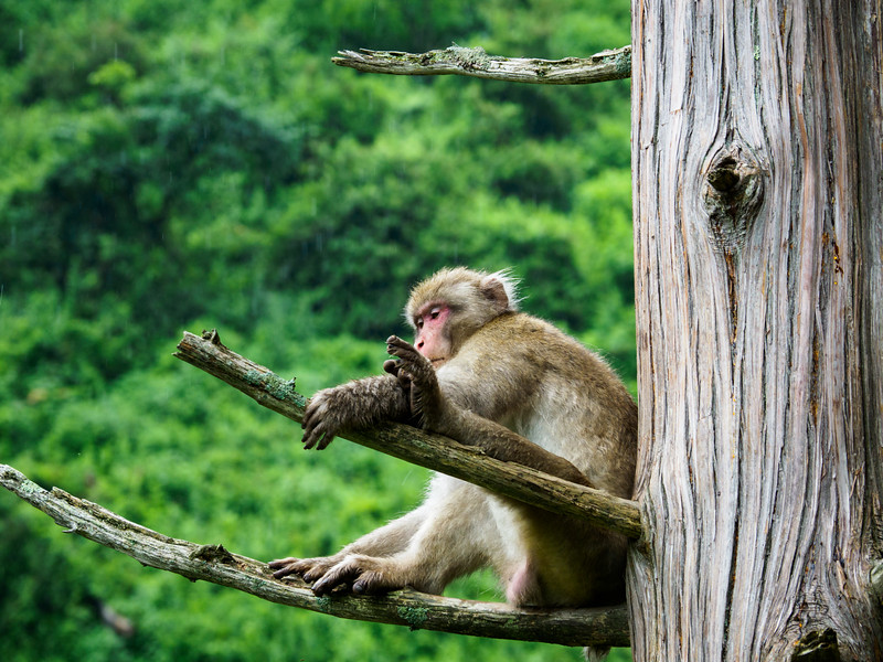 Macaque is the proper name for the snow monkeys.