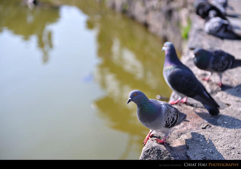 Pigeon beside the lake