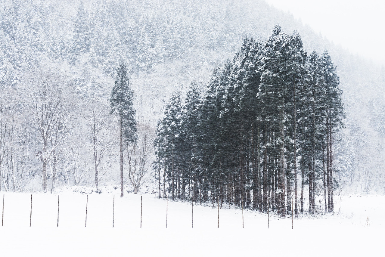 Snow Blowing By Trees In Akita