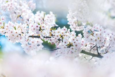 Cherry Blossom Branch at Ashinokoen