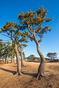 Trees On The Tanesashi Coast