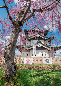 Hirosaki Castle Behind Pink Cherry Blossoms_Portrait