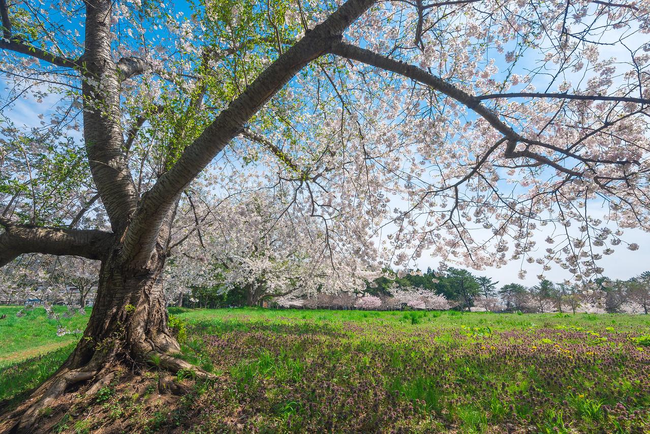 In The Shade Of The Sakura At Ashino Park