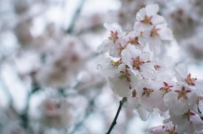 Wet Sakura in Matsumoto