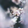 Sakura Clarity