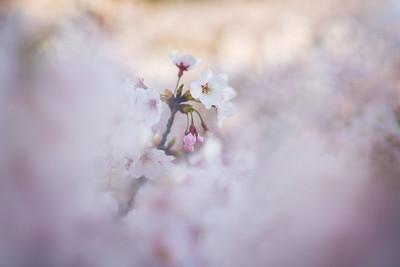 Soft Sakura