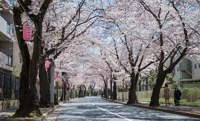 Matsudo Cherry Blossom Tunnel
