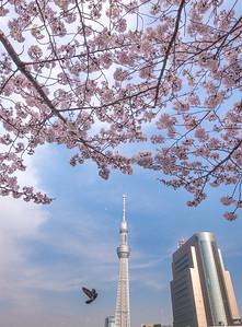 Skytree and Sakura