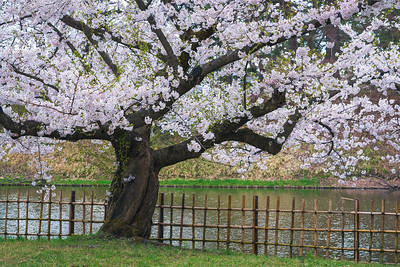 A Somei Yoshino Cherry Blossom Tree At Hirosaki Park