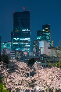 Roppongi Cherry Blossoms
