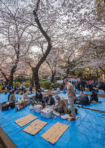 Empty Seats Beneath The Sakura