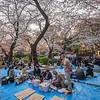 Empty Seats Beneath The Sakura