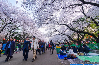 Full Bloom at Ueno Park