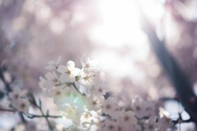 Backlit Sakura In Matsudo