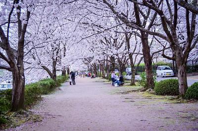 Okayama's Blossom Row