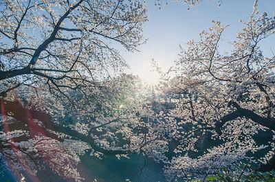 Morning Light at Chidorigafuchi