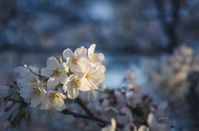 Sunset Lit Sakura