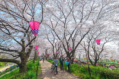 Lanterns and Cherry Blossoms In Satte Japan
