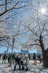 Sitting Beneath Asakusa Cherry Blossoms