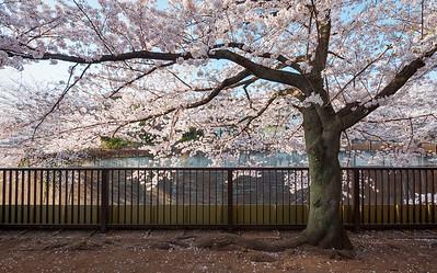 Itabashi Sakura