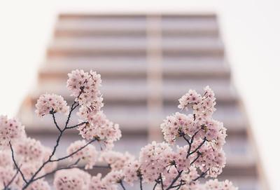 Urban Blossoms In Asakusa
