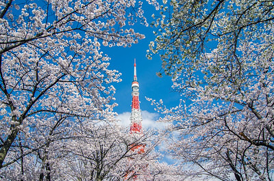 Tokyo Tower Surrounded By Cherry Blossoms