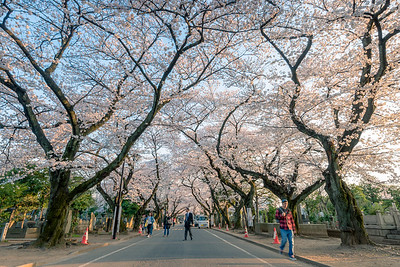 Cherry Blossom Tunnel At Yanaka