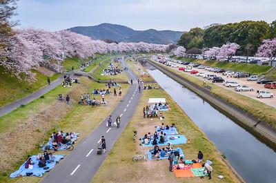Hanami Along The Asahi River In Okayama City