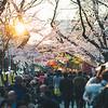 Sunset Sakura