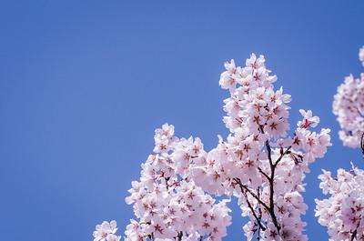 Blue Sky Sakura