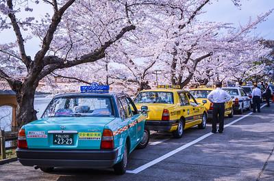 Waiting Beneath The Sakura