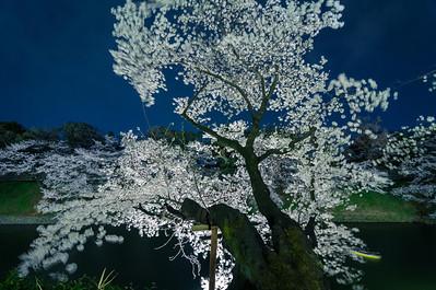 Chidorigafuchi Cherry Blossom
