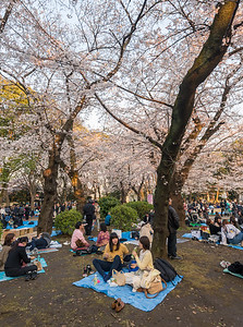 Picnickers Beneath Cherry Blossom Trees