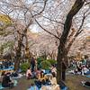 Picnickers Beneath Cherry Blossom Trees