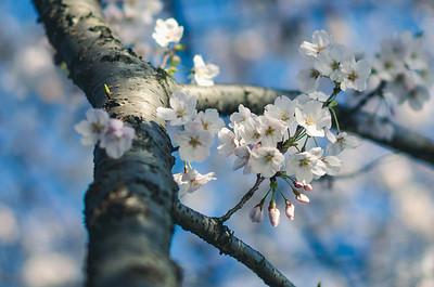 Cherry Blossoms In Morning Sunlight