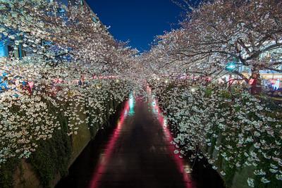 Meguro River Cherry Blossoms In Tokyo