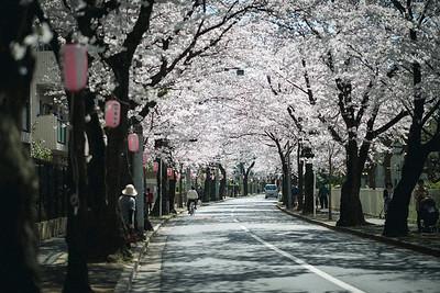 Sakura Tunnel In Matsudo